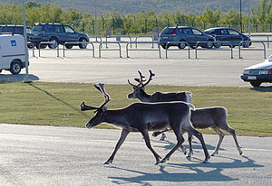 Reindeer at Kirkenes airport